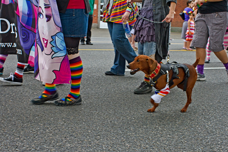 Even Ferous is socked up.  Niqkita used Double Grip Clips to hold his socks up, creating a sort of garter belt out of his harness. Though skeptical about the socks at first, Ferous was comfortable and loved marching with us in the parade.